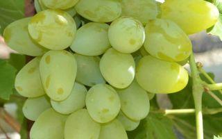 Виноград «Бажена»: описание сорта