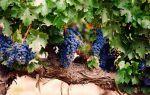 Виноград Мукузани