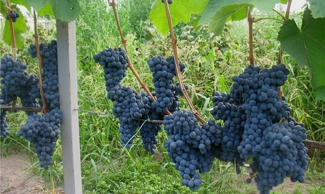 Корни названия «Мукузани» уходят в Грузию, именно там началась история терпкого, ароматного напитка. По легенде, грузинский винодел угостил одного виноградаря превосходным вином, приговаривая – «мукузани». Расставаясь, подарил несколько черенков со словами: «Пусть они дают тебе вино, чтобы ты никогда не забывал о гостеприимстве Кавказа». На родине, сорт винограда мукузани называют «грузинским шедевром». Один куст дает урожай на 50 литров сока или вина, а выращивать можно без укрытия - лоза переносит мороз до -30 градусов. Описание сорта Эстетически красивый внешний вид позволяет использовать сорт для украшения стен домов, затенять беседки. Это можно увидеть на фото: Мукузани виноград описание: Рассечение листьев – трехлопастное или пятилопастное, не имеет опушения, ровного темно – зеленого цвет, концы закругленные, без характерной остроты. Сам сортовой куст состоит из отдельных рукавов, каждый из которых имеет плодовую стрелку. Шпалеры довольно быстро обвиваются (на концах), по причине отсутствия полевой стойкости. Лоза развивается хорошо и быстро, побеги образуют до трех больших гроздей конической формы, со спелыми плодами, плотно расположенными друг к другу. Характеристика средних показателей длины – до 30 см. Виноград чрезвычайно плодовитый. Ягоды небольшого размера, соответствующие винным сортам, круглые, весом 2 – 3 г. Гроздья без пустот, плоды наполнены по длине, окрас насыщенно – фиолетовый. Каждая виноградинка обладает хорошей лежкостью, благодаря специальному, естественному, бархатному налету. Внутри ягоды – 3 – 4 маленькие косточки. Вкусовые особенности разновидностей мукузани сортовом в моих предпочтениях – нет специфического привкуса муската, как в диком сортовом винограде. Ягоды сочные, внутри вкусная мякоть. Следующее фото позволит рассмотреть плоды ближе: Показатели сахара достигают 23 %. Сохраняется повышенная кислотность. Сроки созревания зависят от количества теплых дней сезона. Сбор урожая происходит с середины августа по середину сентября. Посадк